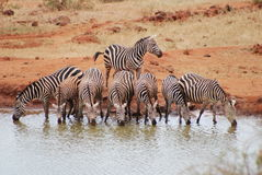 Zebra Herd Stock Image