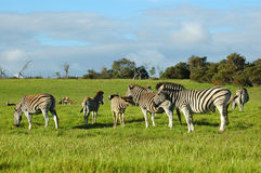 Free Zebra Herd Stock Image - 1653651