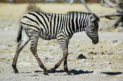 Zebra herd. At a drinking hole in Etosha, Namibie Stock Photo