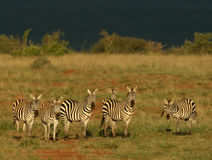 Zebra herd Royalty Free Stock Images
