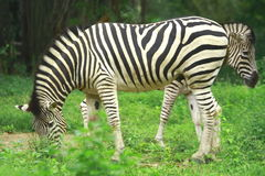 Zebra Herd Stock Image