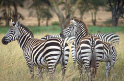 Zebra herd. In Ngorongoro Crater, Tanzania. This game reserve is known as Africa's Garden of Eden due to the vast array of wildlife that exists here Stock Photo