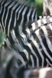 Zebra herd abstract background texture.  Stock Images