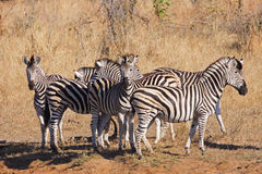 Zebra Herd on alert Royalty Free Stock Photo