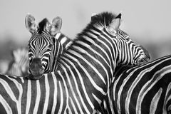 Zebra herd in black and white photo with heads together Royalty Free Stock Photo