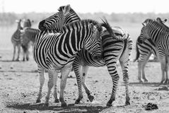 Zebra herd in black and white photo with heads together Stock Photography