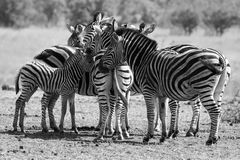 Zebra herd in black and white photo with heads together Stock Photo