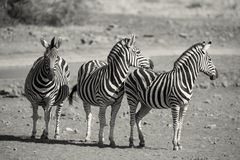 Zebra herd in a black and white photo with heads together Stock Photo