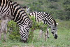 Zebra herd Stock Photos