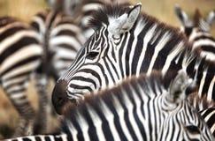Zebra herd closeup Stock Photos