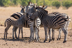 Zebra herd in colour photo with heads together Royalty Free Stock Photography