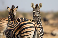 Zebra herd in colour photo with heads together Stock Images