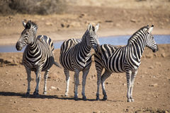 Zebra herd in a colour photo standing at waterhole Royalty Free Stock Images
