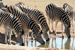 Zebra Herd Drinking Water Royalty Free Stock Photos