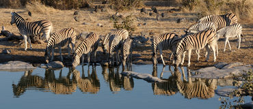 Zebra herd drinking water Stock Photos
