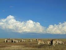 Zebra herd, Etosha National Park, Namibia  Royalty Free Stock Images