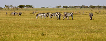 Zebra Herd in Grumeti Reserves stock photo