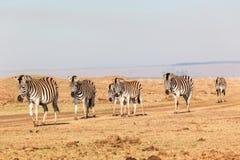 Zebra Herd Landscape Terrain Stock Image