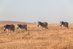 Zebras Morning Walk Water Wildlife  Royalty Free Stock Image