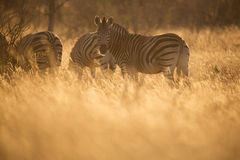 Zebra. A herd of Zebra lit with the beautiful warm tones of an African Sunset Stock Images