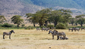 Zebra herd in the Ngorongoro Crater, Royalty Free Stock Image