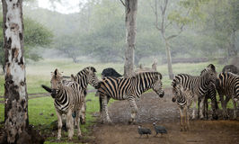Zebra herd in the pouring rain Stock Photo