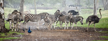 Zebra herd in the pouring rain Stock Photos