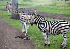 Zebra herd in the pouring rain Stock Images