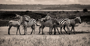 Zebra herd in sepia Royalty Free Stock Photo