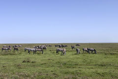 Zebra Herd in the Serengeti Stock Photos
