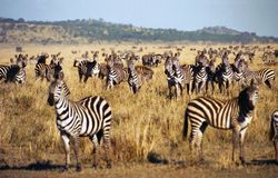 Zebra herd during Serengeti migration. Big zebra herd during the great migration. Serengeti, Tanzania stock photography