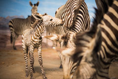 Zebra herd during Serengeti migration Stock Photos