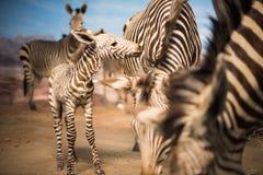 Zebra herd during Serengeti migration Stock Photos