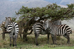 Zebra Herd - Serengeti Safari, Tanzania, Africa Royalty Free Stock Images