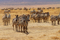 Zebra Herd Stare. A zebra herd stops and stares royalty free stock photography