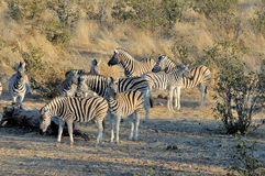 Zebra herd at sunrise Royalty Free Stock Photography