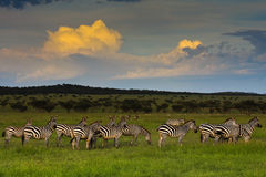 Zebra Herd at Sunset. In Singita Grumeti Reserves, Tanzania stock photo