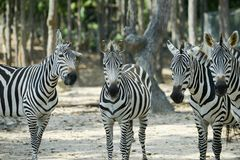 Zebra. Herd was watching when something is wrong royalty free stock photography