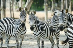 Zebra. Herd was watching when something is wrong stock photo