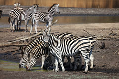 Zebra herd at water hole Royalty Free Stock Images