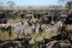 Zebra in a herd of wildebeest royalty free stock photography