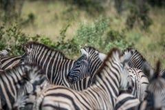 Zebra in between a herd of Zebras. royalty free stock photos