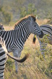 Zebra. A herd of zebras graze just before sunset.  One lifts its head for a profile Stock Images