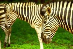 Zebra-Herde lizenzfreie stockfotos