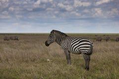 Zebra in het Nationale Park Serengeti Stock Afbeeldingen