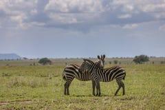 Zebra in het Nationale Park Serengeti Stock Fotografie
