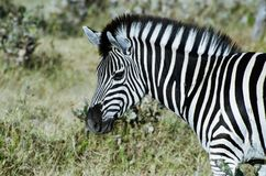 Zebra, het Nationale Park van Moremi, Botswana Royalty-vrije Stock Foto's