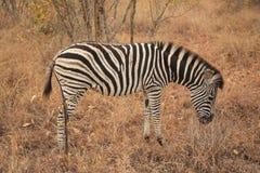 Zebra in het Nationale Park Zuid-Afrika van Kruger stock afbeelding