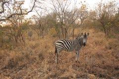 Zebra in het Nationale Park Zuid-Afrika van Kruger royalty-vrije stock foto's