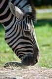 Zebra in het Olympische Landbouwbedrijf van het Spel Stock Fotografie